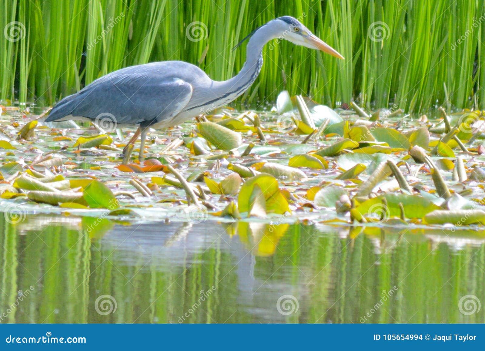A heron fishing on the Ornamental Pond, Southampton Common