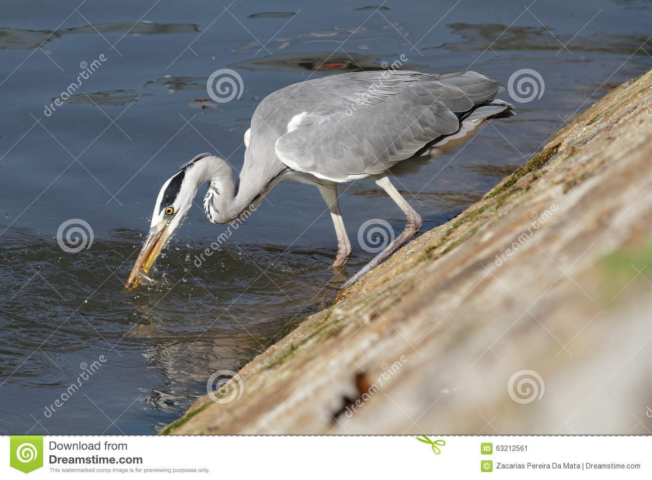 Heron fishing young fish royalty free stock photography for Fishing times free