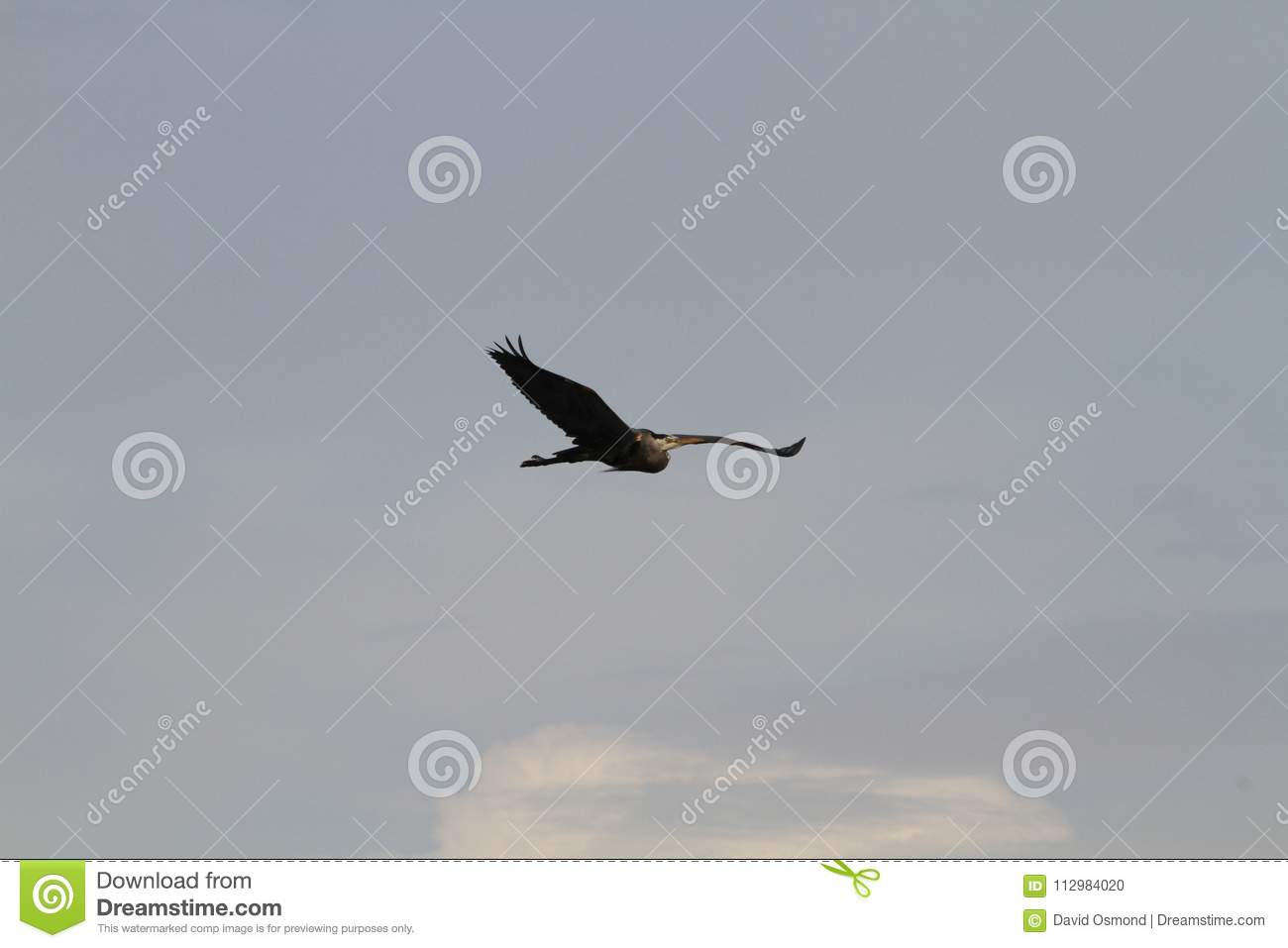 A heron flying by on a cloudy day