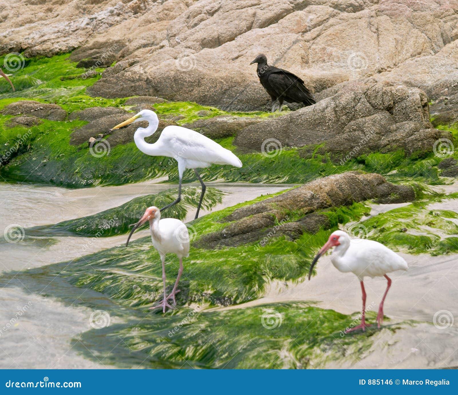 - heron ibisa white
