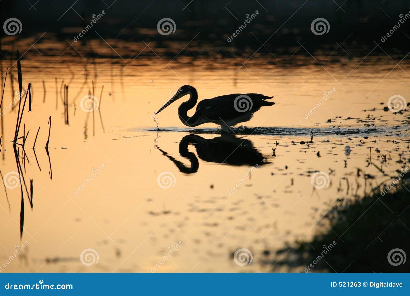 Heron kolorowego tri