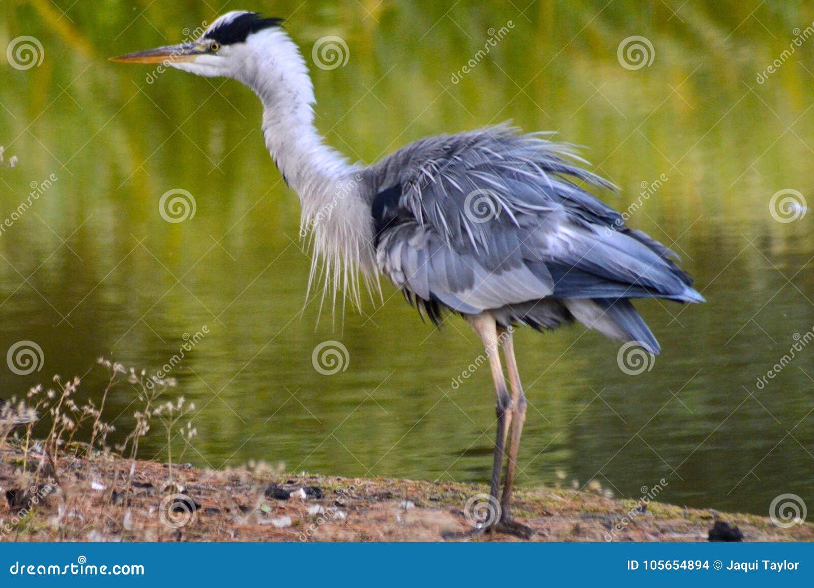 A heron on the Ornamental Pond, Southampton Common