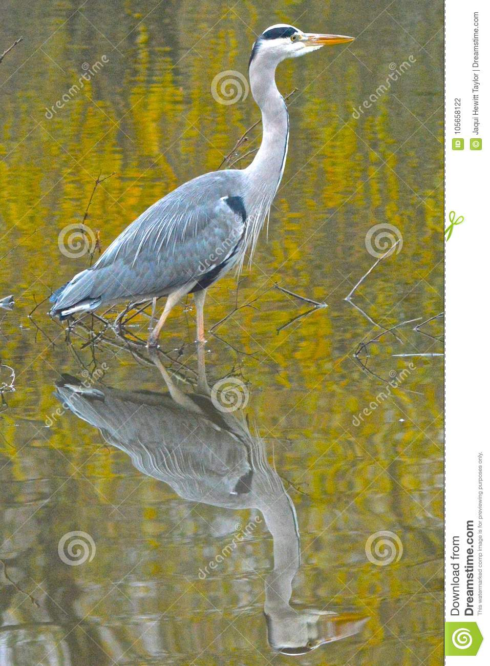 Download A Heron On The Ornamental Pond, Southampton Common Stock Photo - Image of water, reflection: 105658122