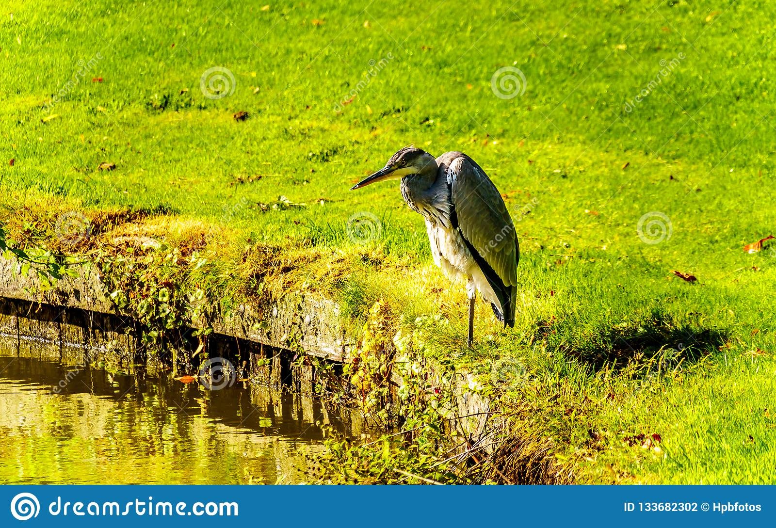Heron standing at the edge of a Pond