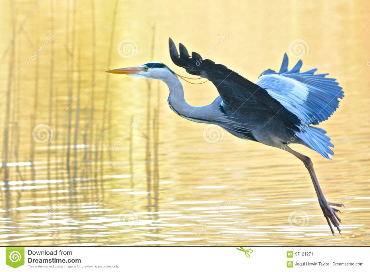 A heron taking off
