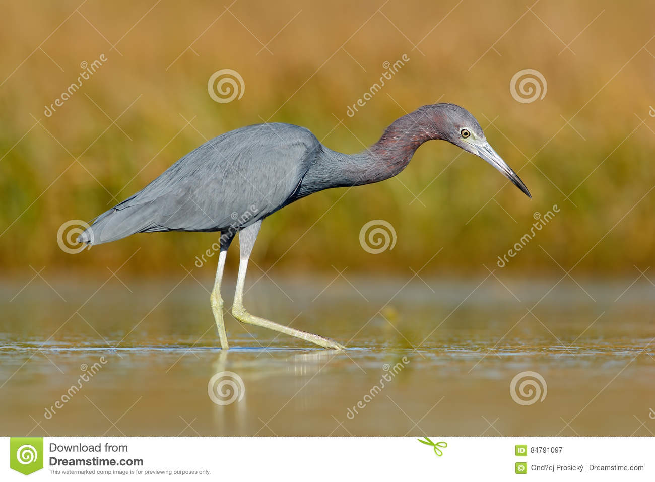 Heron with water grass. Little Blue Heron, Egretta caerulea, in the water, Mexico. Bird in the beautiful green river water. Wildli