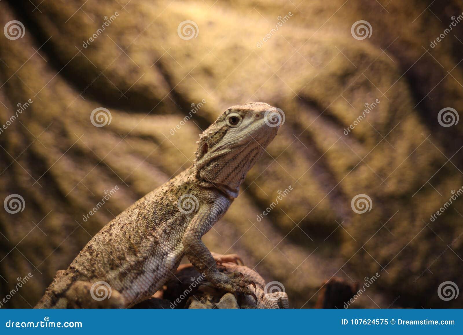 Herr Lizard som väntar på några trevliga kryp