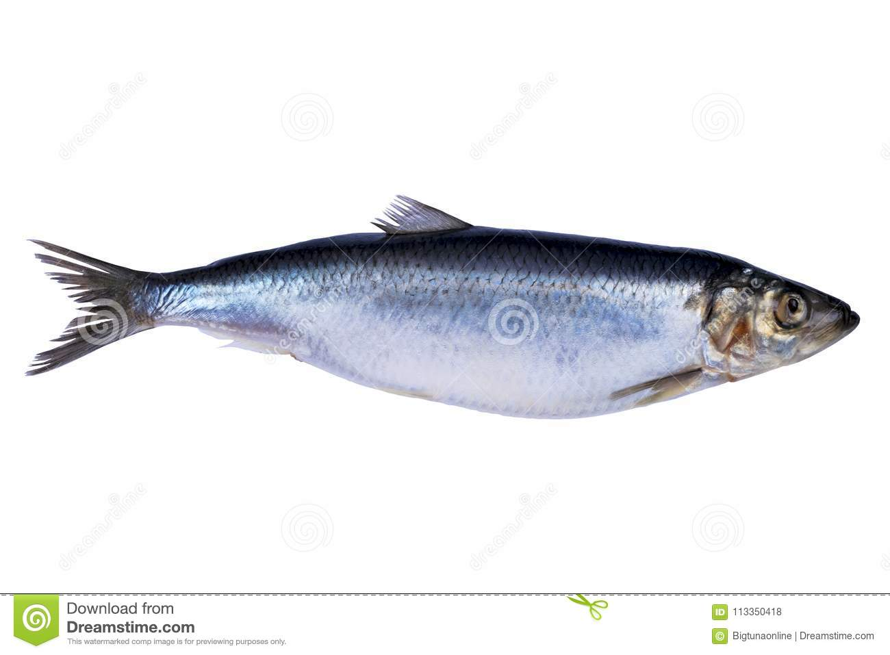 Herring Fish Isolated On White Background Frozen Group Of