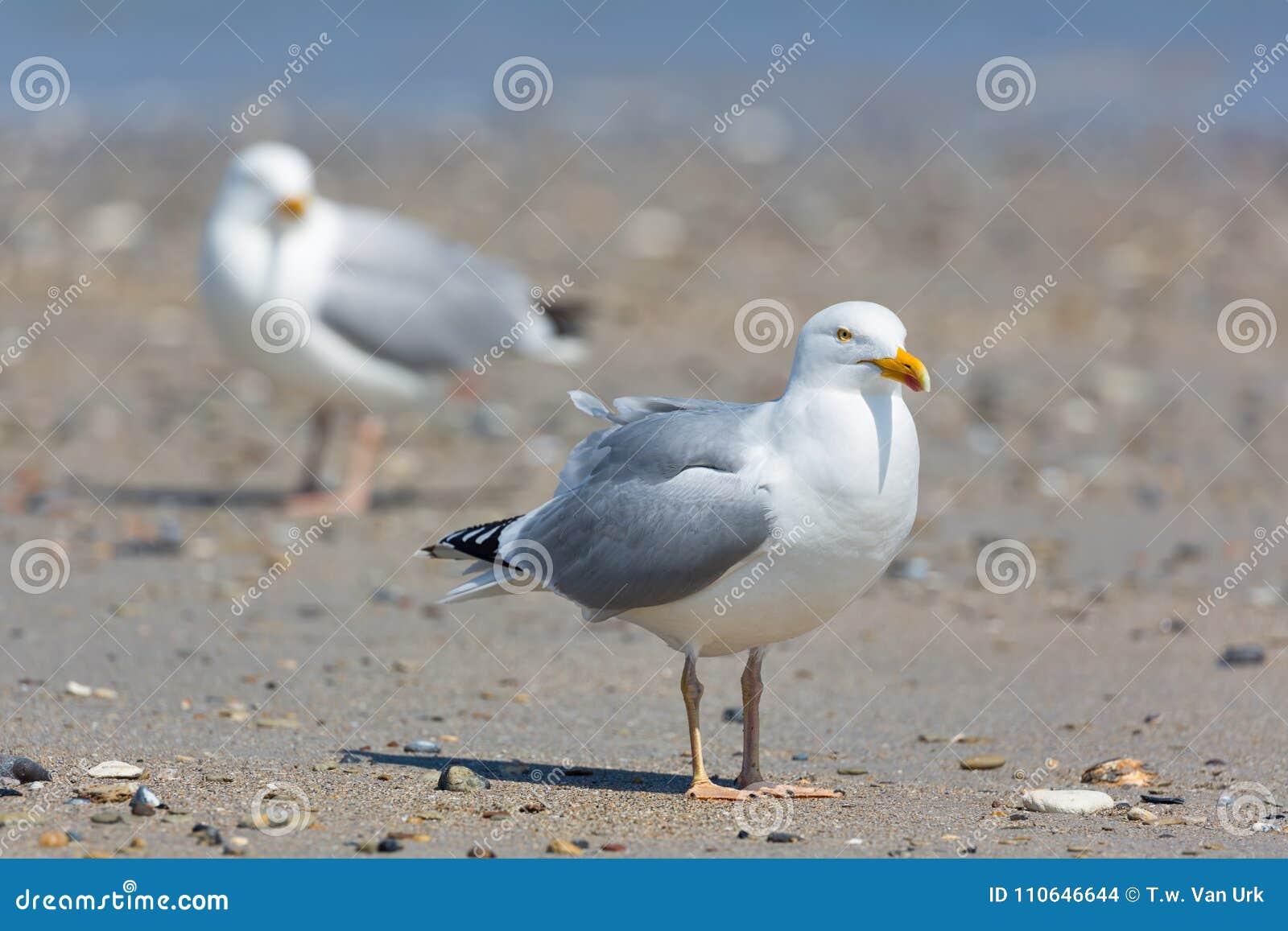 Herring gull at beach of German island Dune near Helgoland