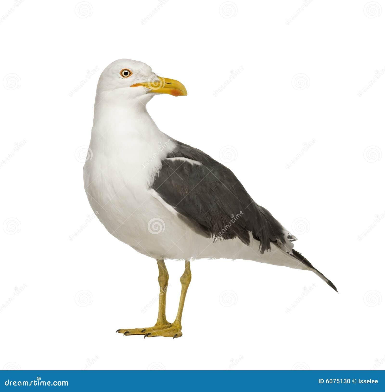 Herring Gull Larus Argentatus 3 Years Stock Photo Image 6075130