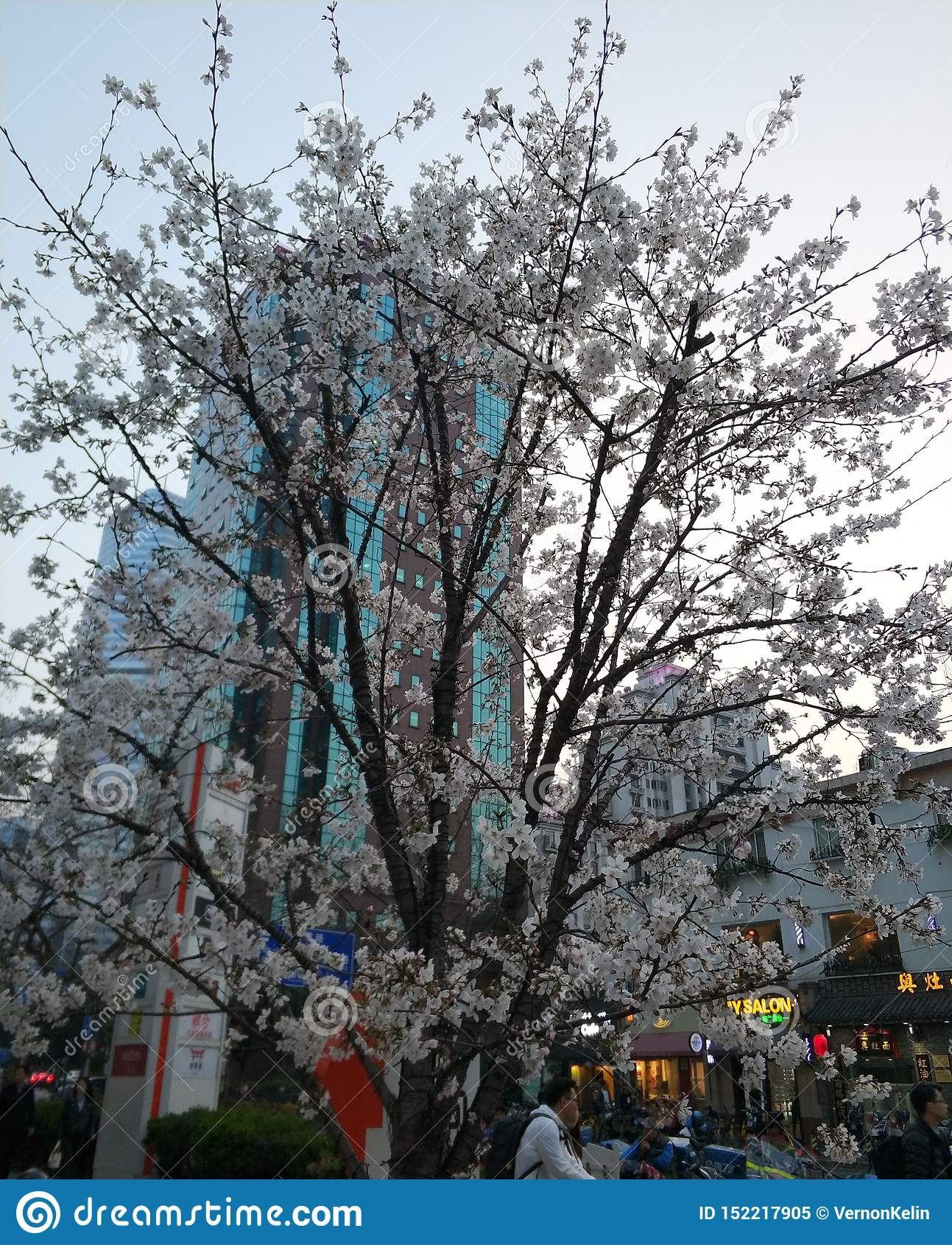 Herrliche Kirschbäume, die auf dem streett blühen