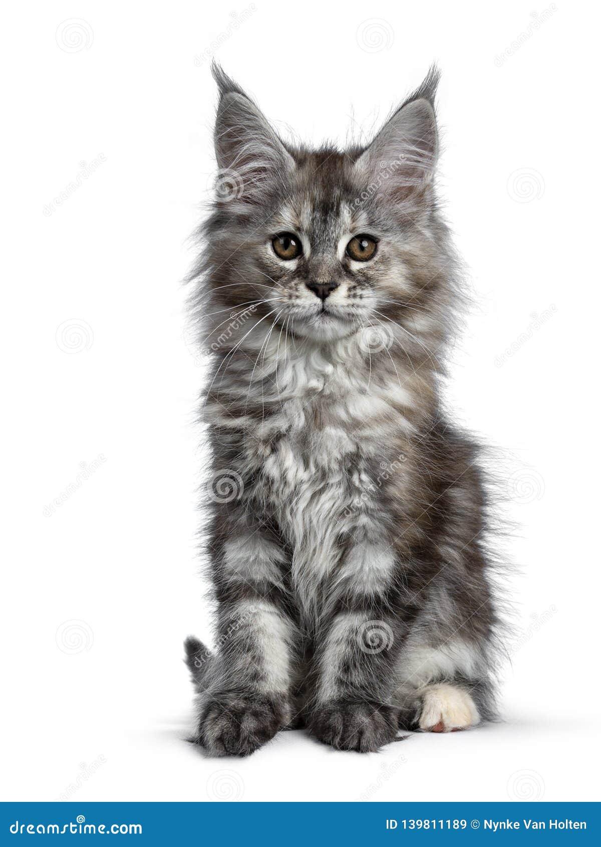 Herrliches nettes Maine Coon-Katzenkätzchen, lokalisiert auf weißem Hintergrund