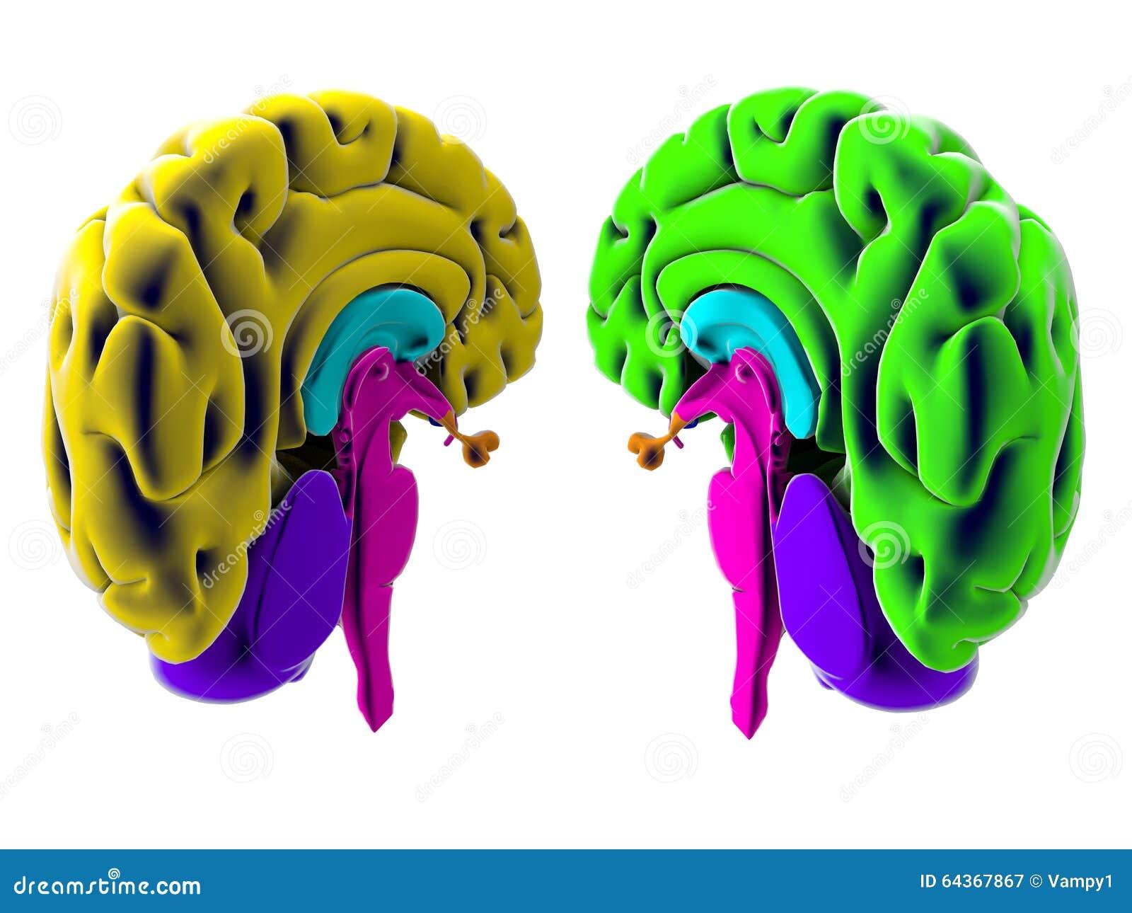 Hersenen, sectie, afdeling, scherpe delen, anatomiestudie