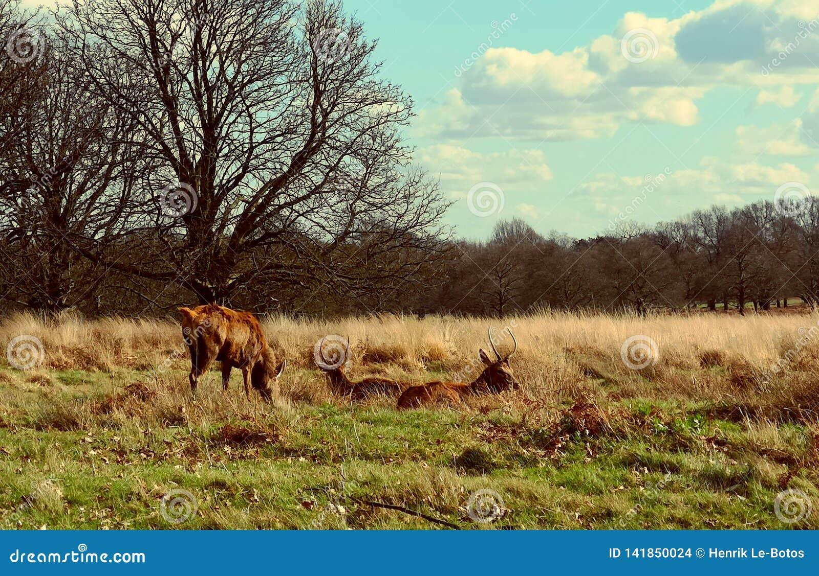 Herten die in de zonsondergang in Richmond Park, Londen waarnemen