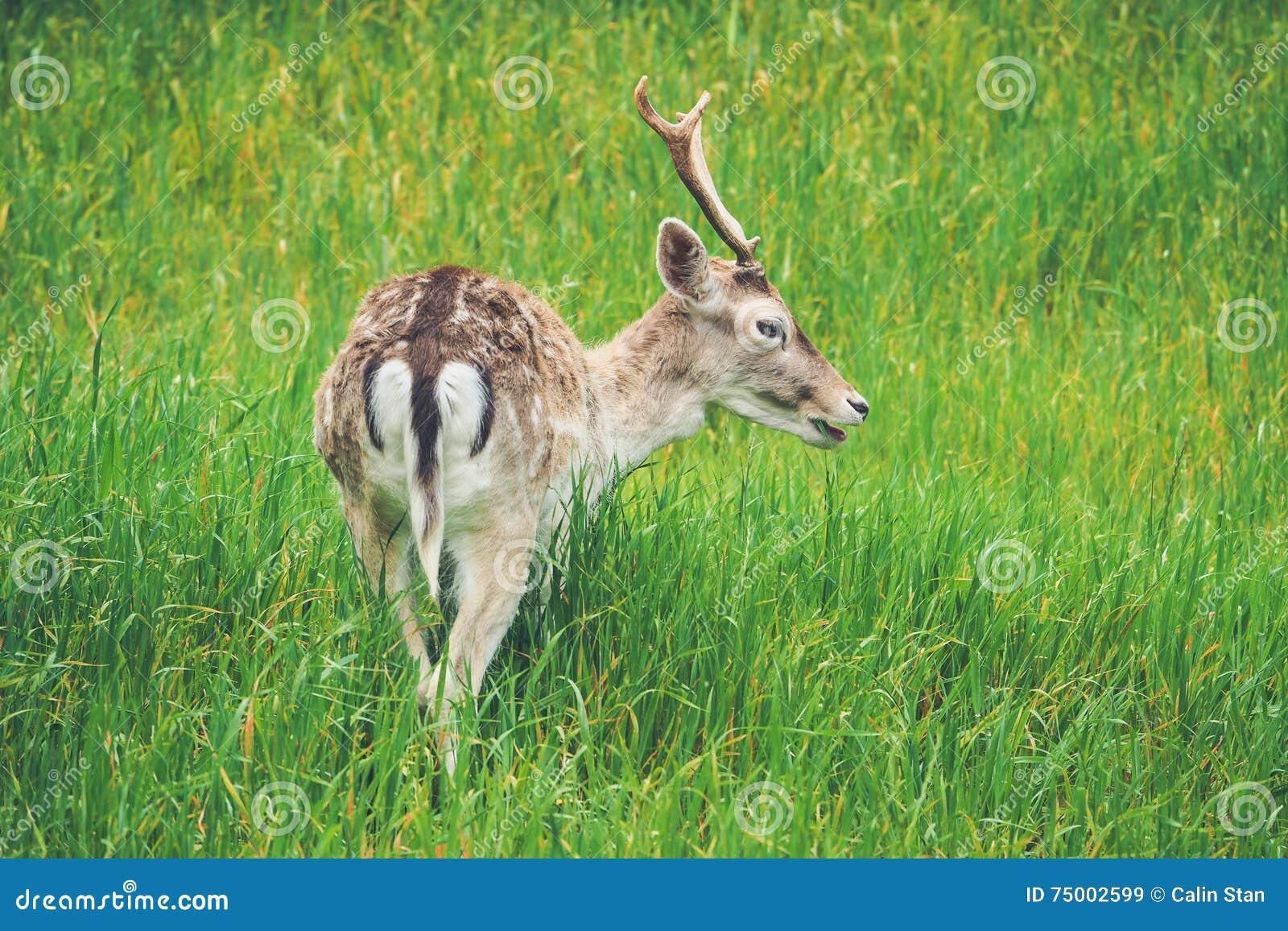 Herten die gras in wildernis eten