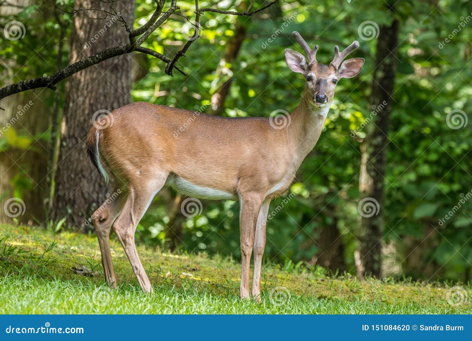 Herten die voor de camera in het bos stellen