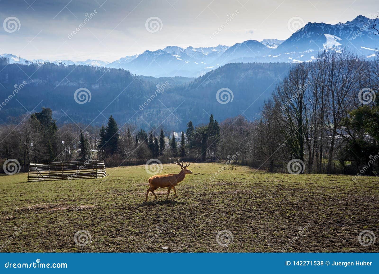Herten op gebied in Oostenrijk met bergen met sneeuw en hout op achtergrond