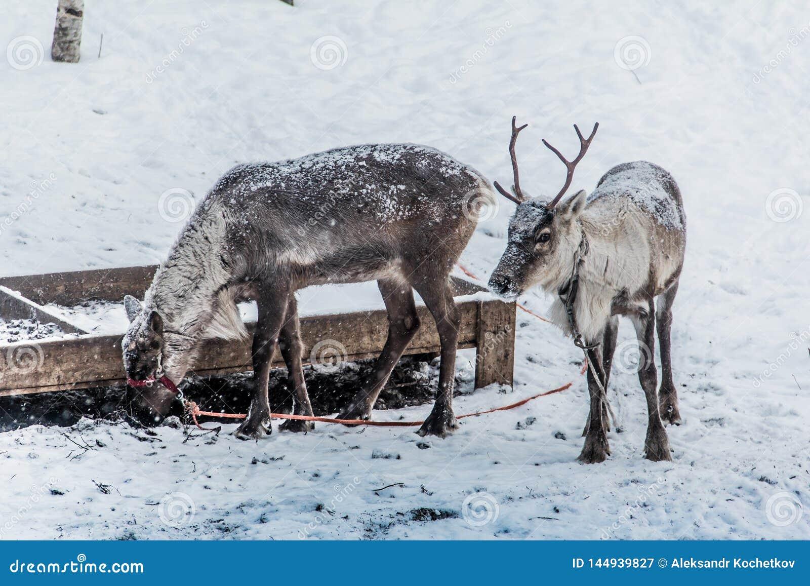 Herten in sneeuw