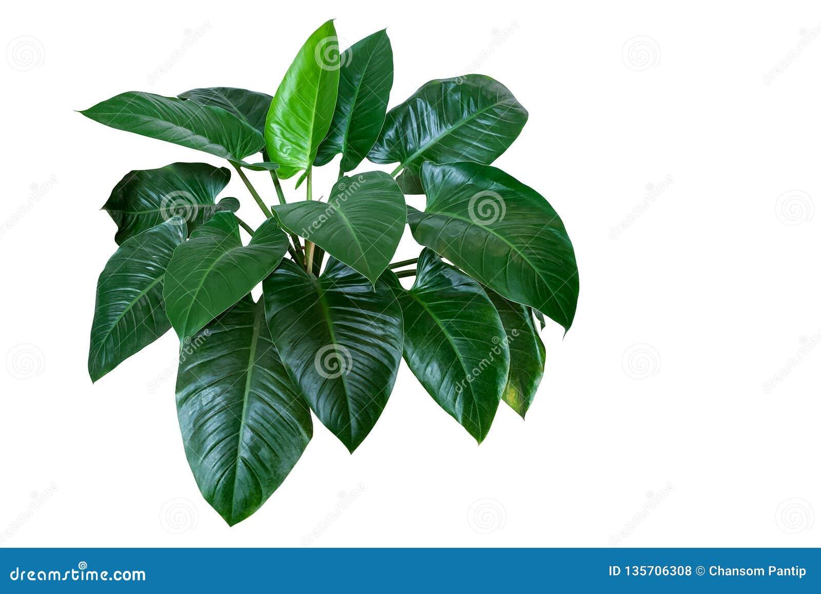 """Herz formte dunkelgrüne Blätter Philodendron """"Emerald Greenâ€- des tropischen Laub-Betriebsbusches, der auf weißem Hintergrund"""