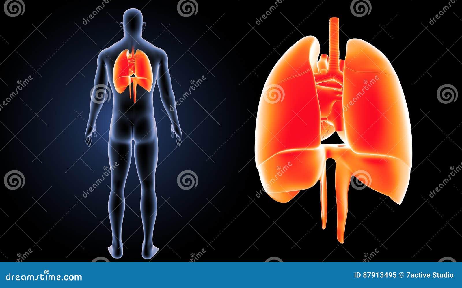 Ungewöhnlich Herz Membran Fotos - Menschliche Anatomie Bilder ...