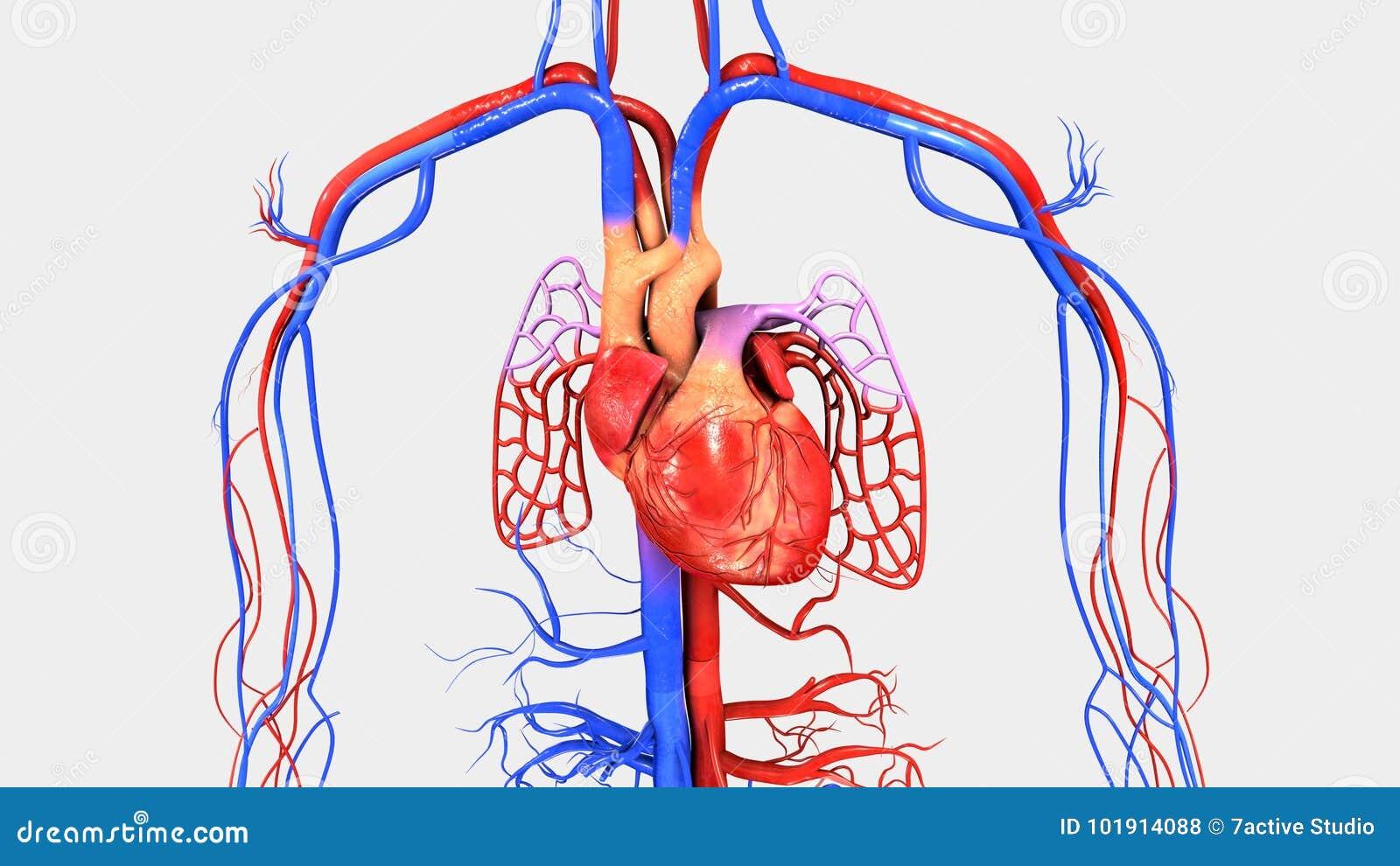 Herz mit Kreislaufsystem stock abbildung. Illustration von lungen ...
