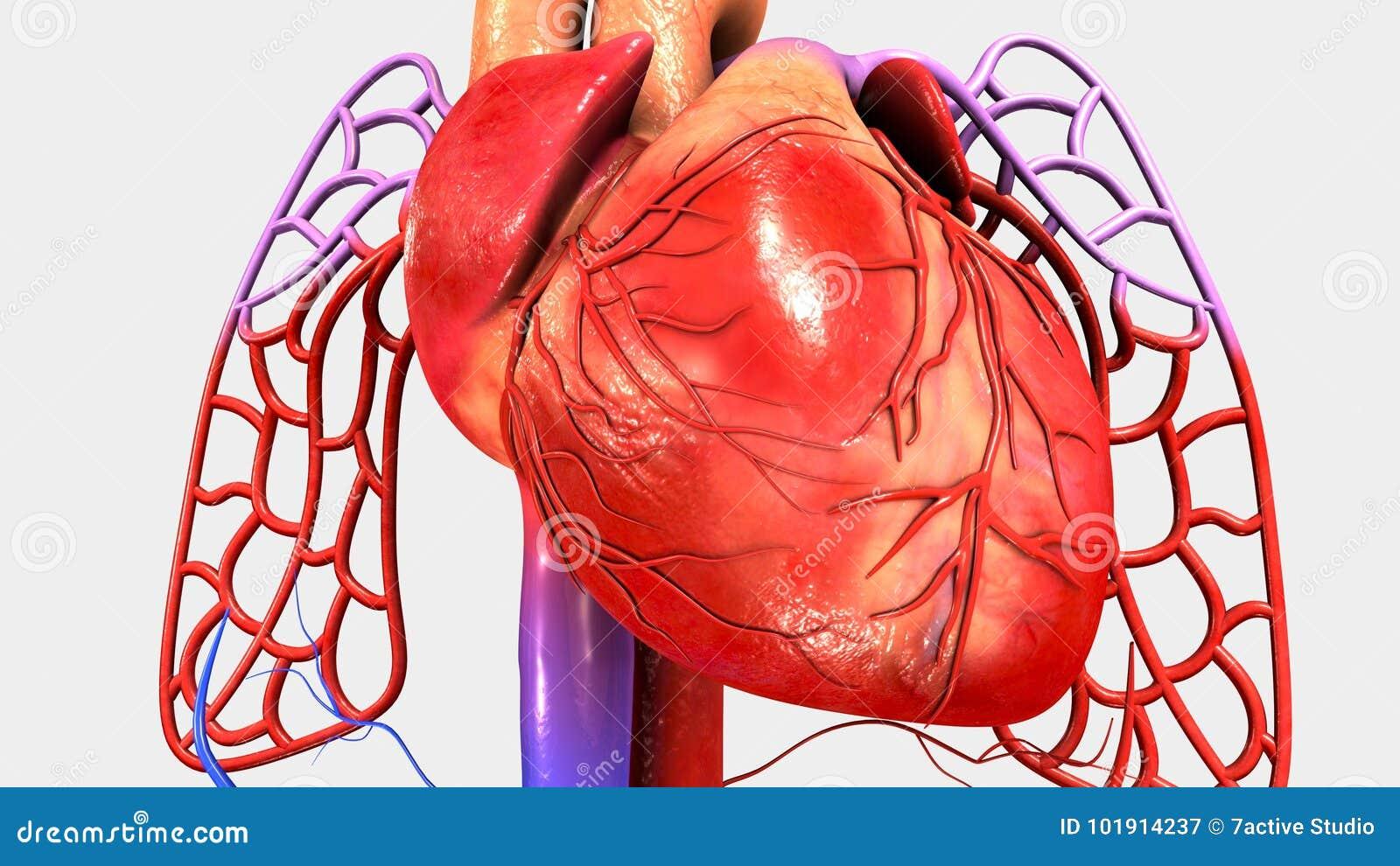 Herz mit Kreislaufsystem stock abbildung. Illustration von organe ...