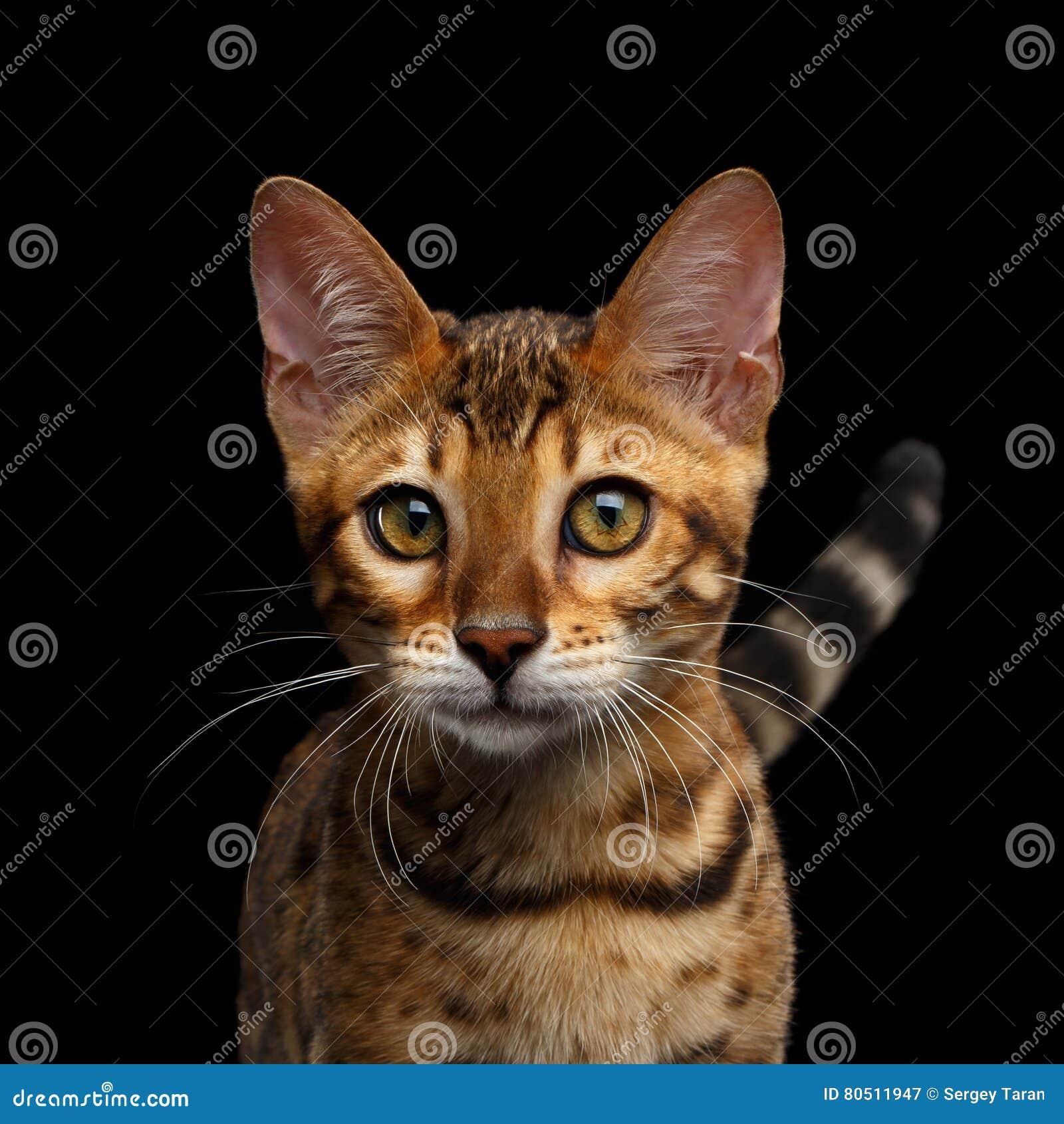 Het aanbiddelijke katje van rassenbengalen dat op Zwarte Achtergrond wordt geïsoleerd