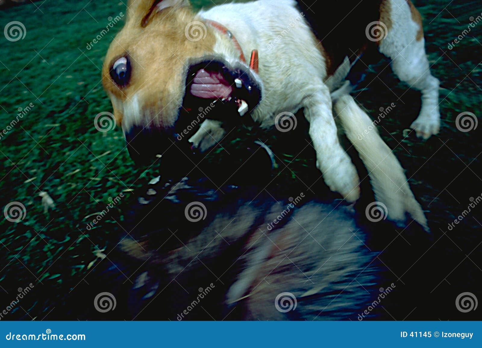 Het aanvallen van de hond