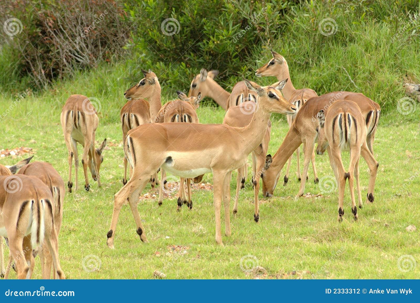 Het Afrikaanse wild