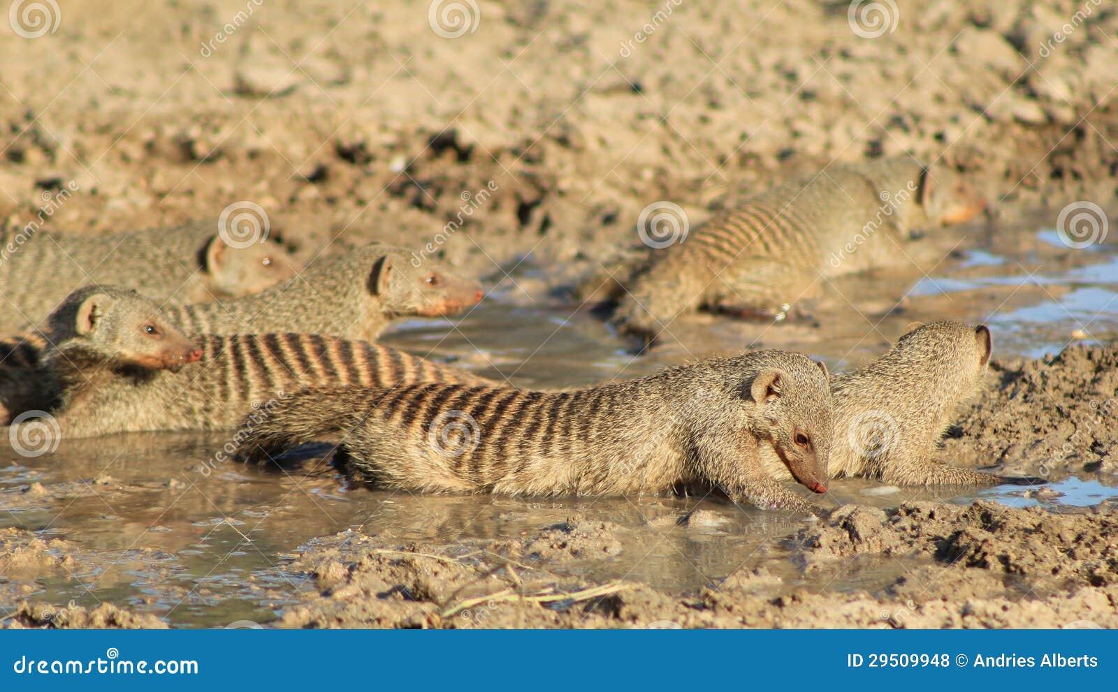 Het Afrikaanse Wild - Gestreepte Mongoes, - Band van Broers 3