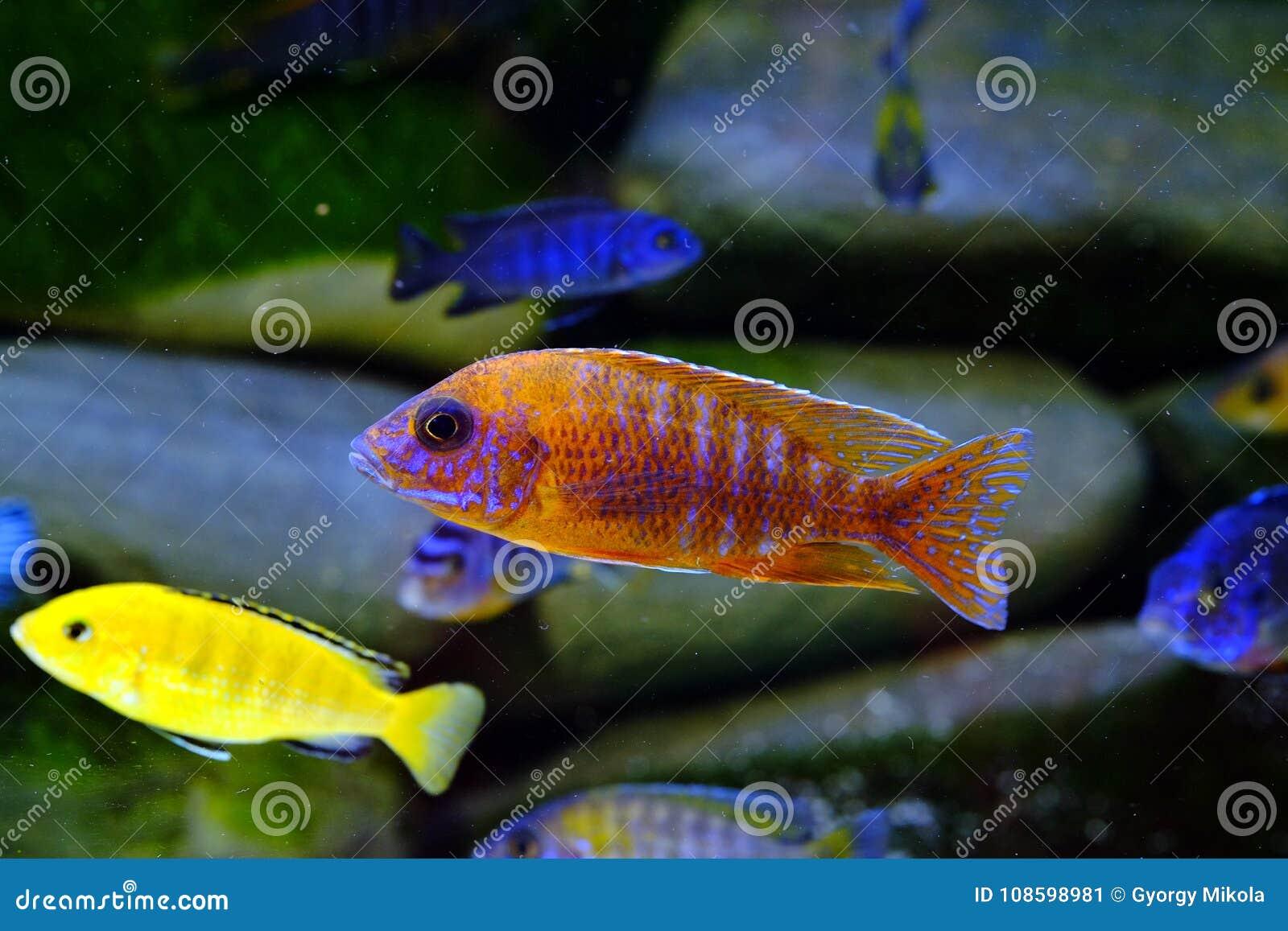 Het aquariumvissen van Malawi cichlid zoetwater