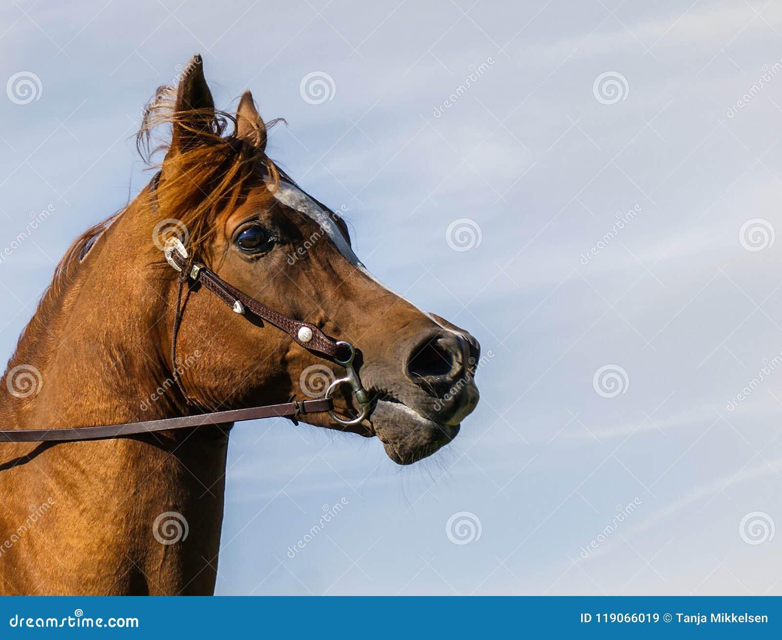 Het Arabische portret van het paardprofiel