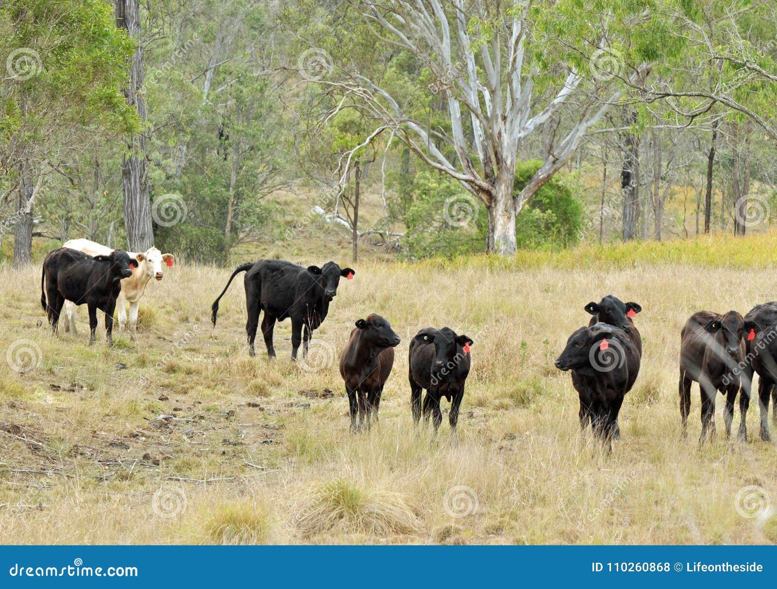 Het Australische weiland van de het graslandbouwgrond van het Brahmaanvee weidende
