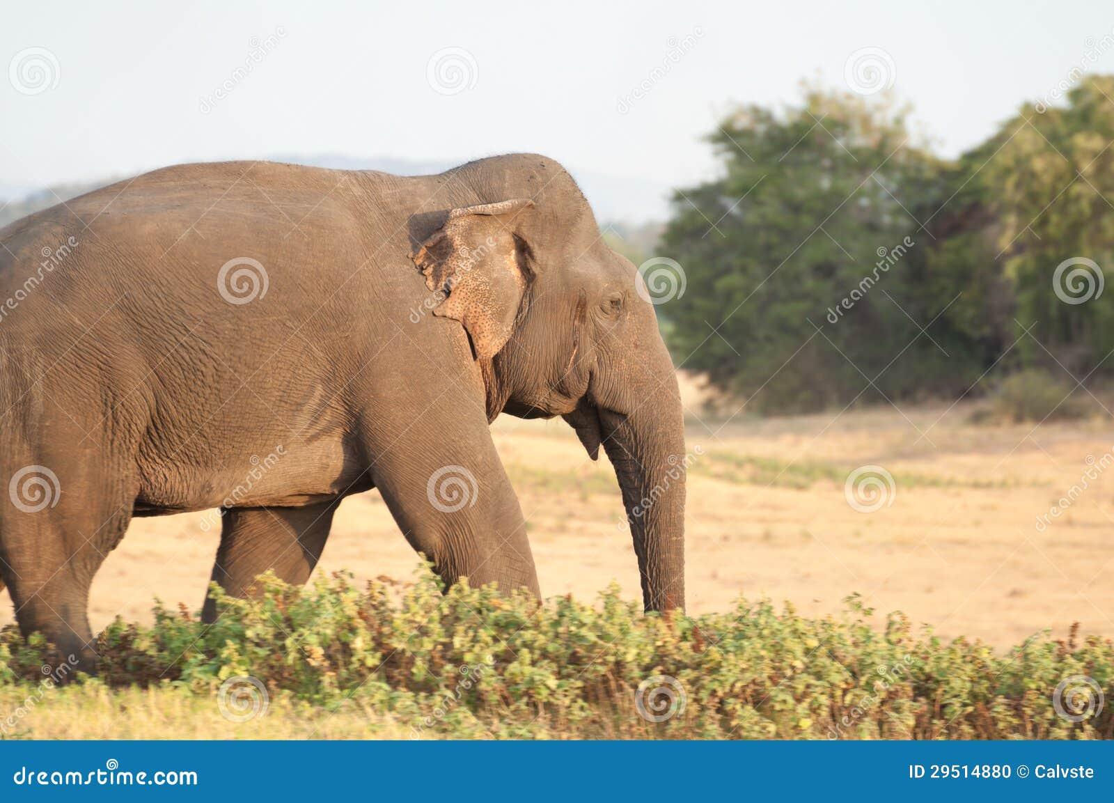 Het Aziatische olifant weiden op de weide dicht omhoog