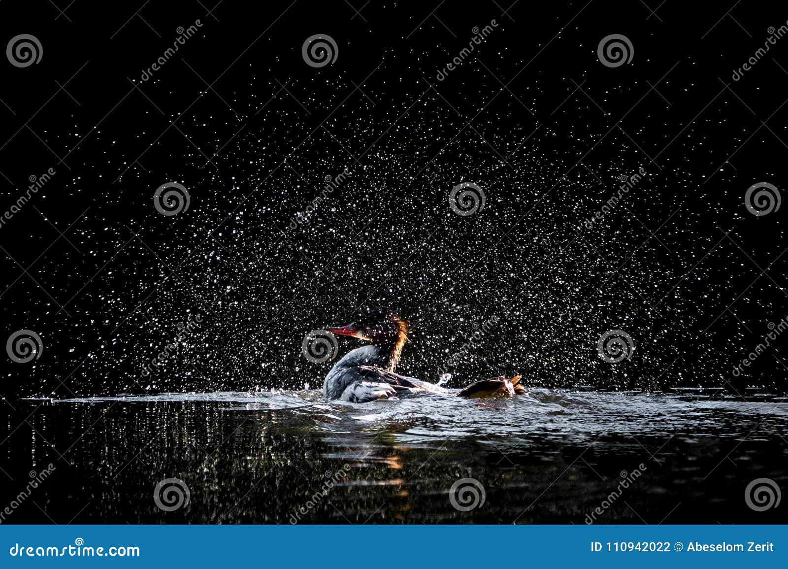 Het baden Zaagbek Met een kap