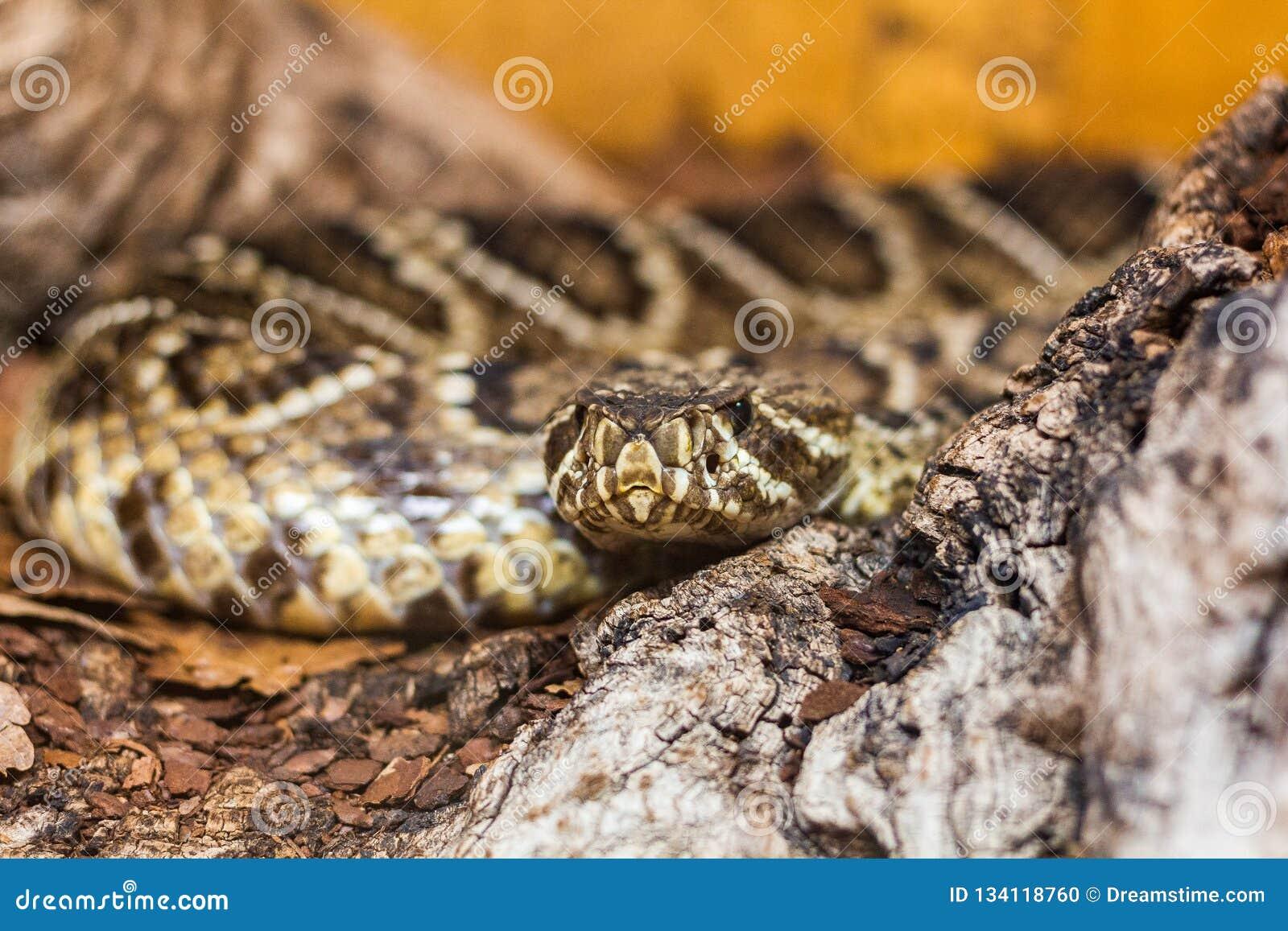 Het bedreigen van bruine slang