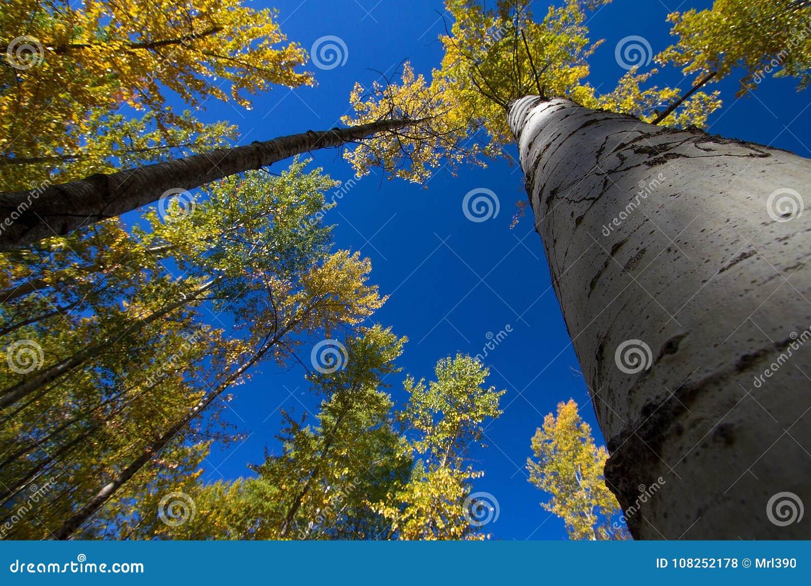 Het bekijken omhoog mooie Espbomen in Montana
