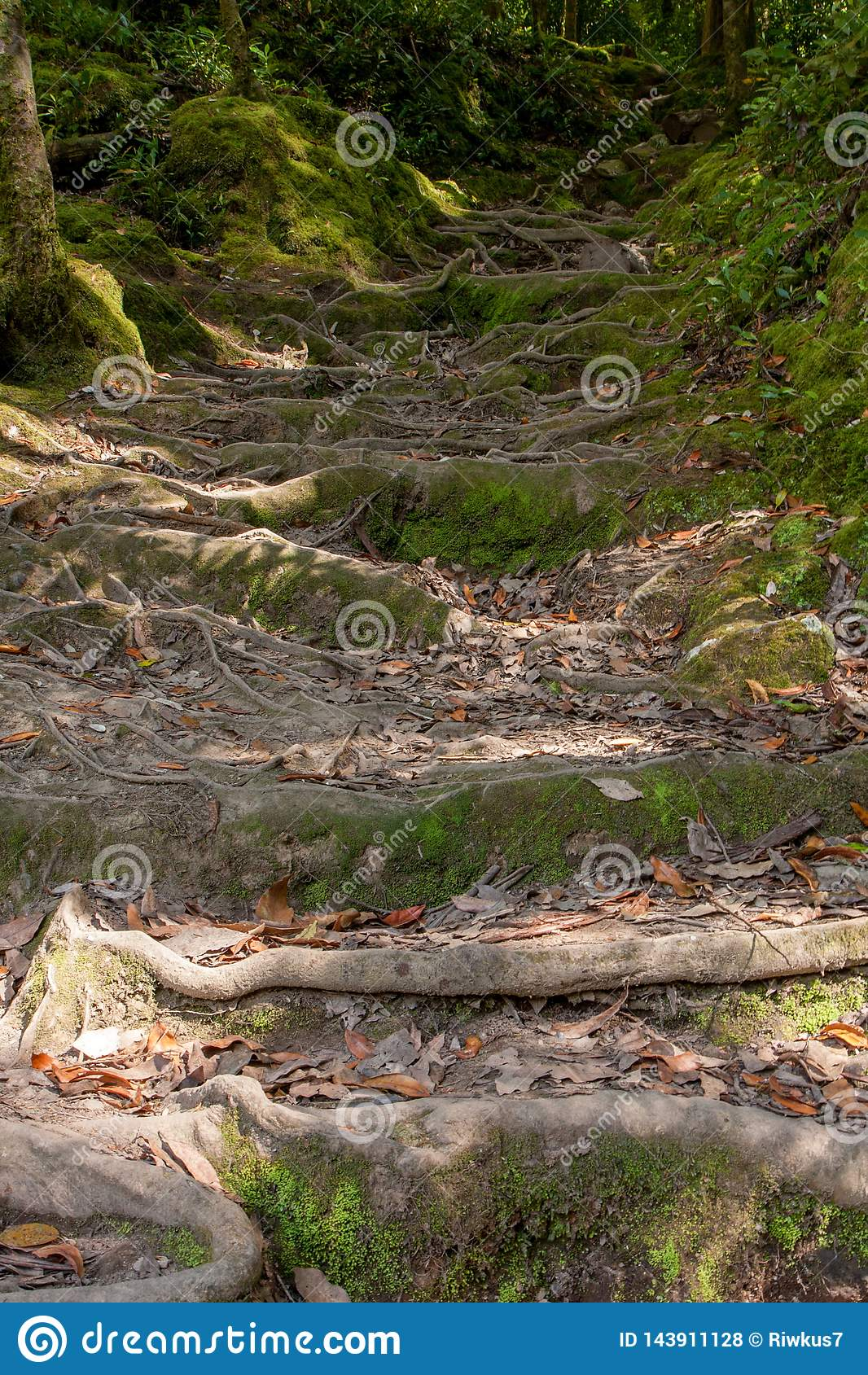 Het beklimmen van de treden van de wortels in het naaldbos