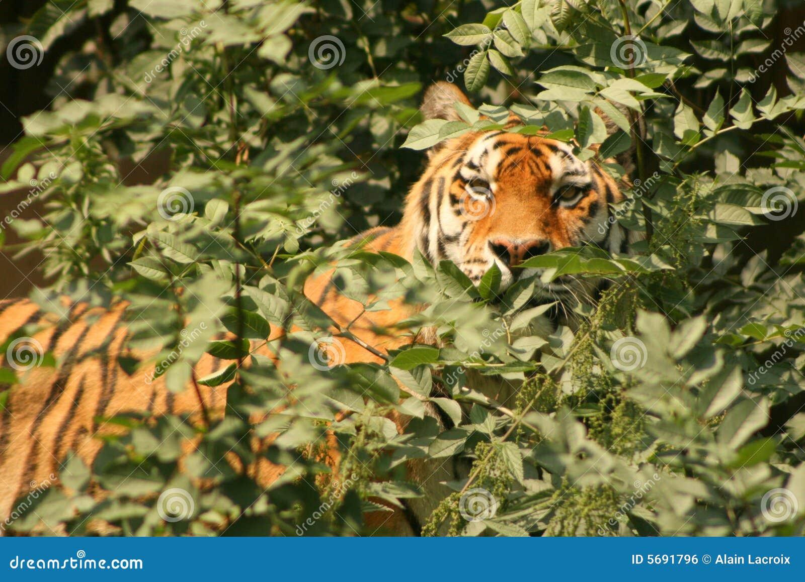Het besluipen tijger