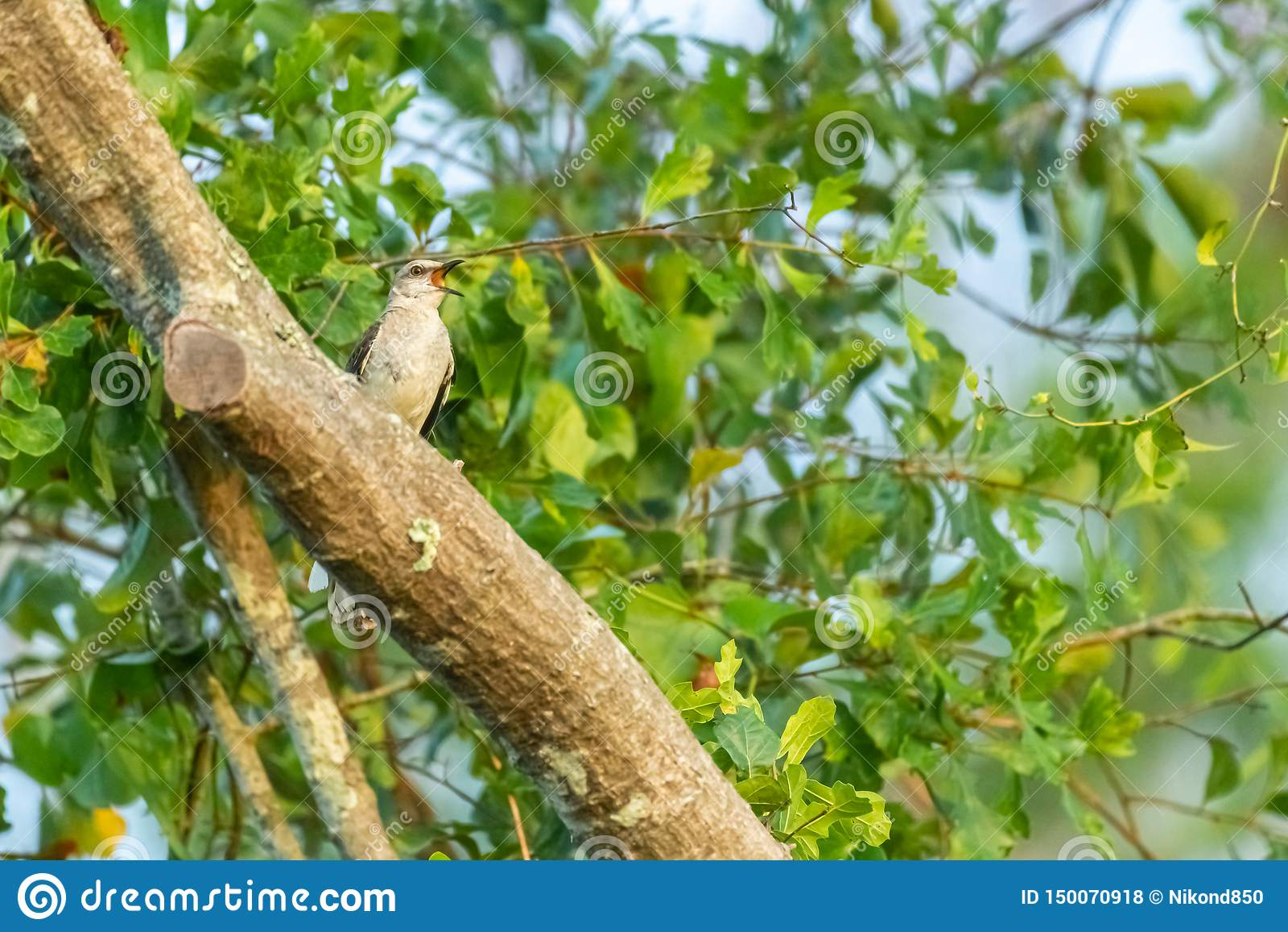 Het bespotten vogel het zingen in de boom