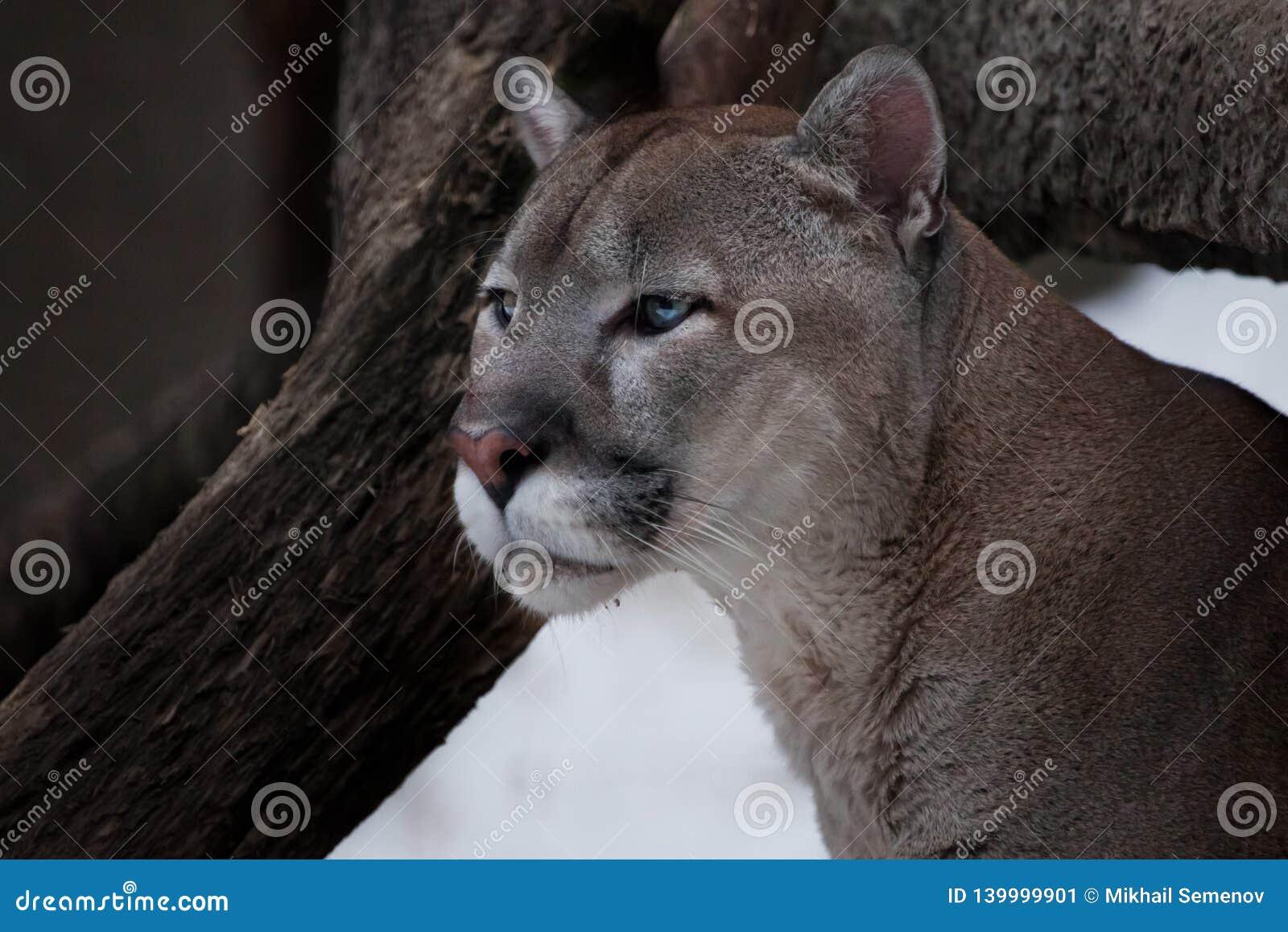 Het bevallige hoofd van een bevallige poema - een mooie roofzuchtige kat, close-up