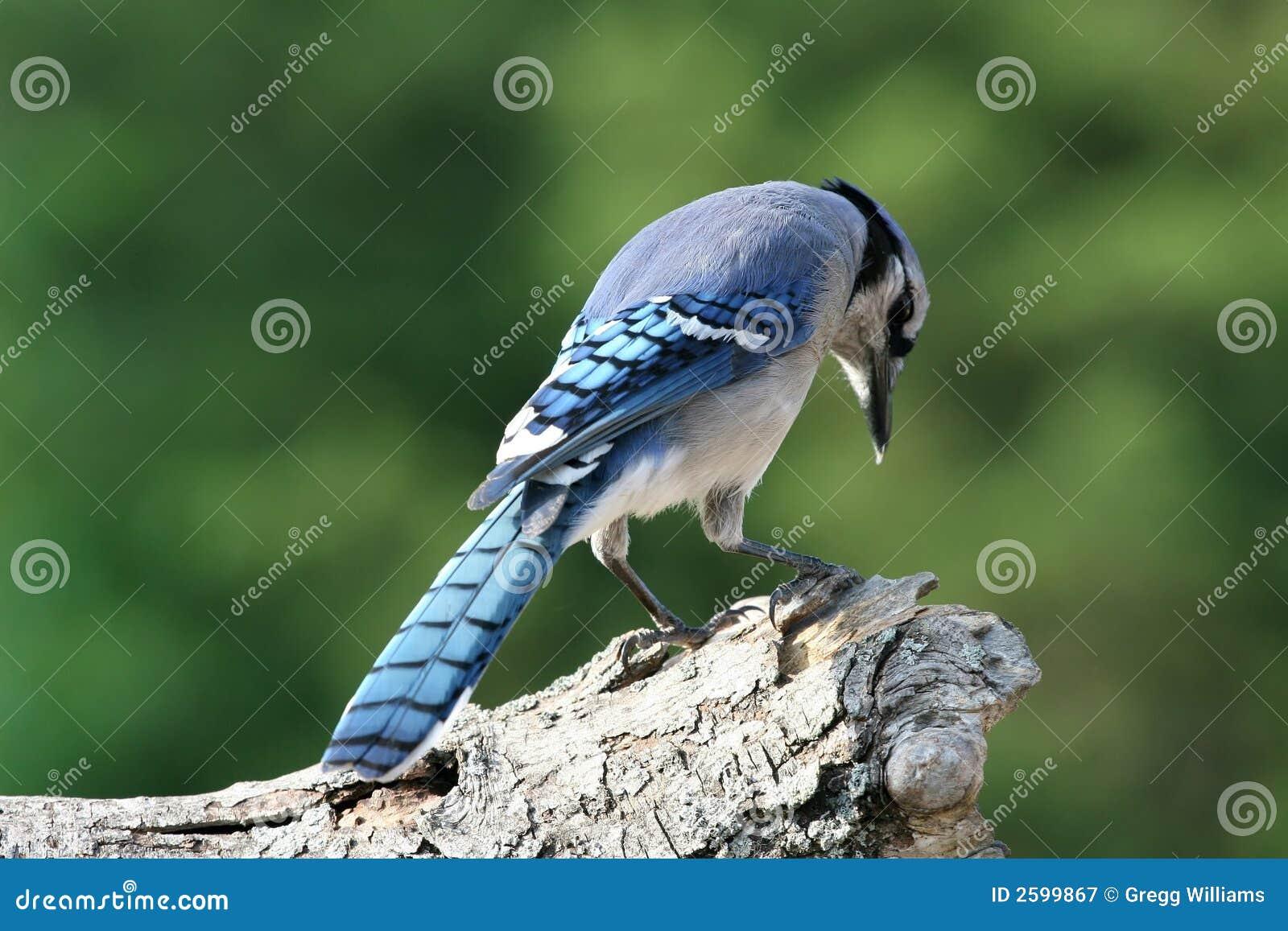 Het bidden blauwe Vlaamse gaai