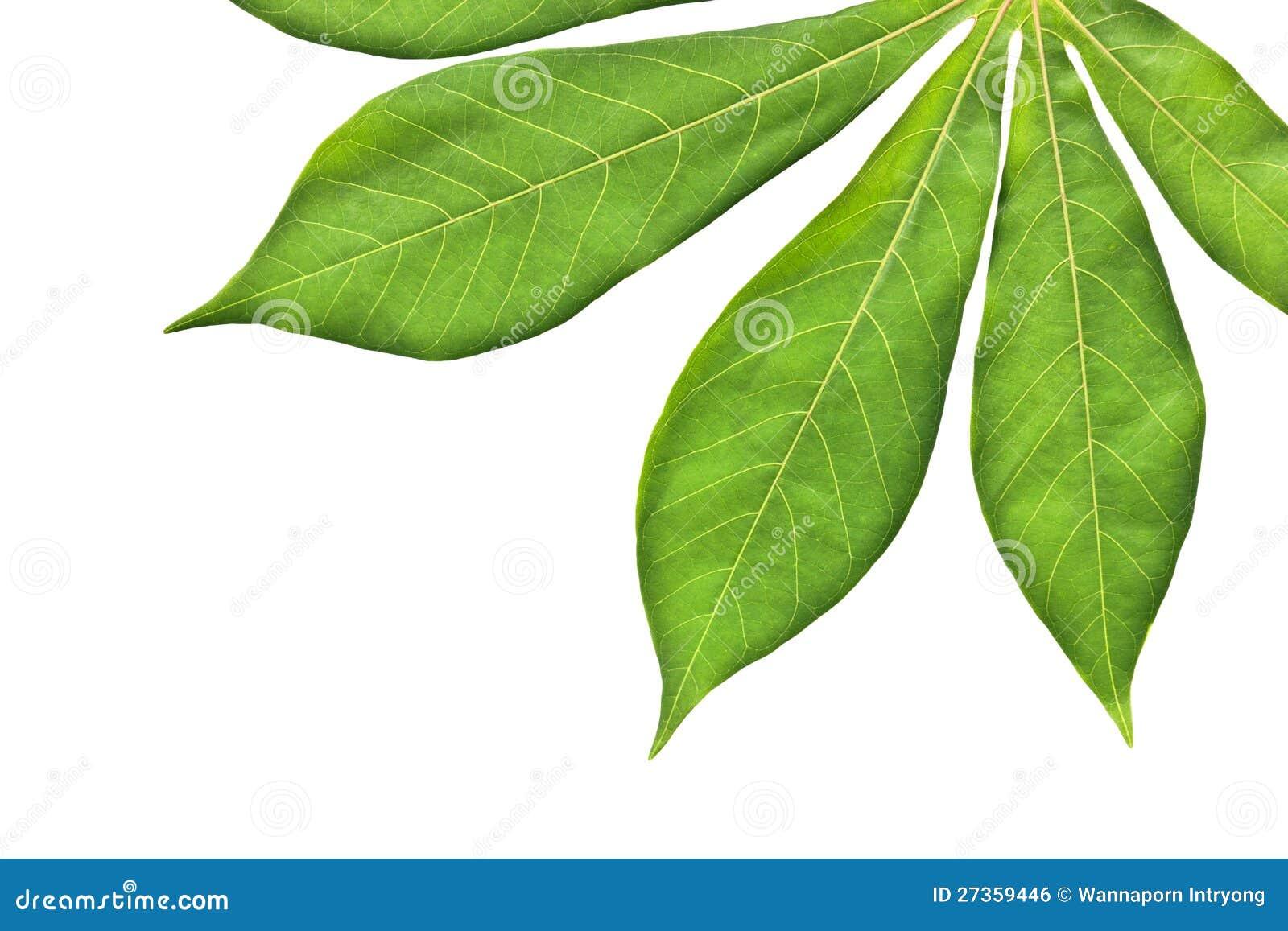 Het blad van de maniok