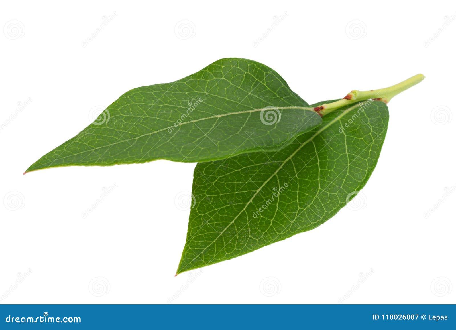 Het bladclose-up van het bosbessenfruit