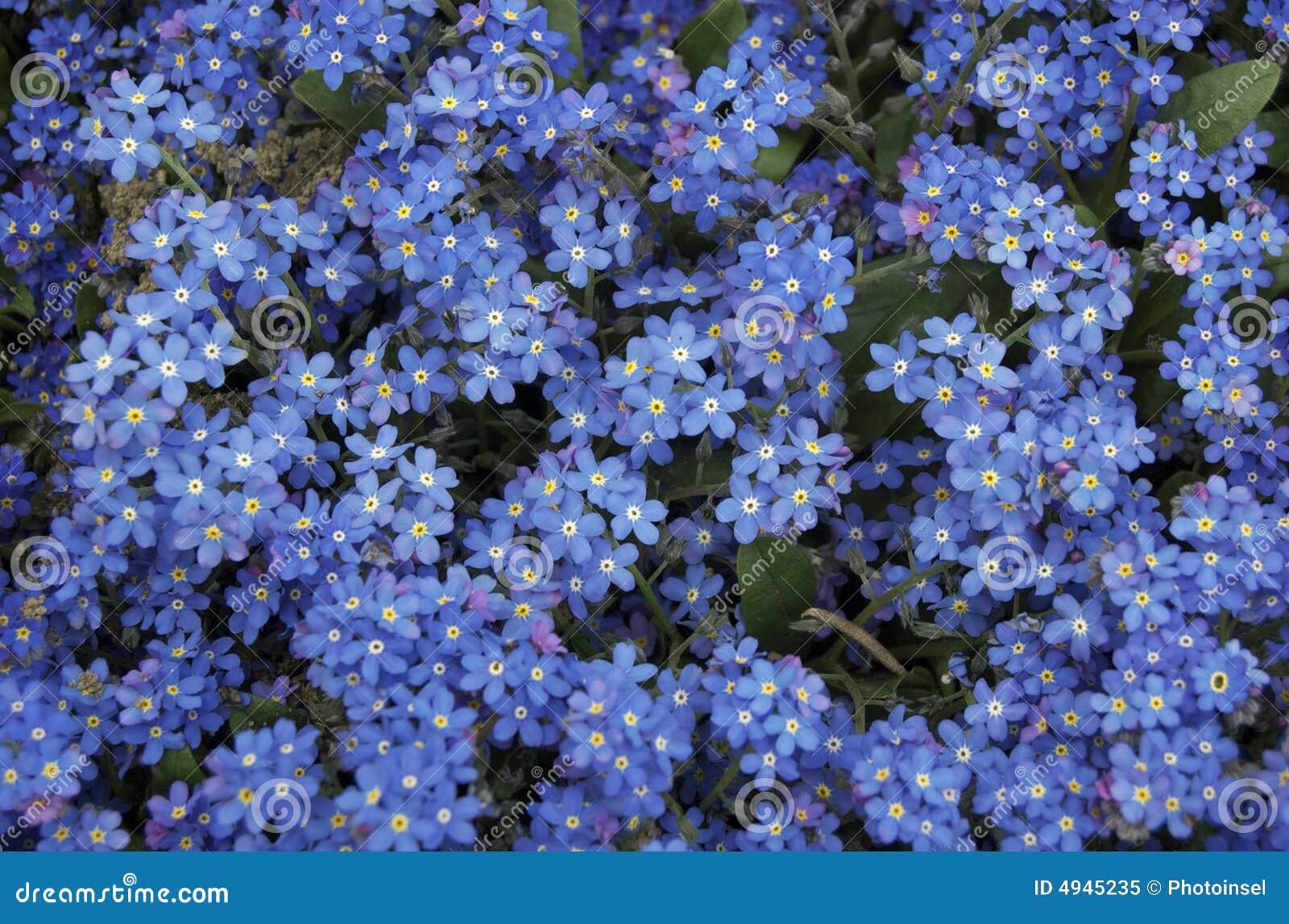 het blauw vergeet me niet bloemen royalty vrije stock foto afbeelding 4945235. Black Bedroom Furniture Sets. Home Design Ideas
