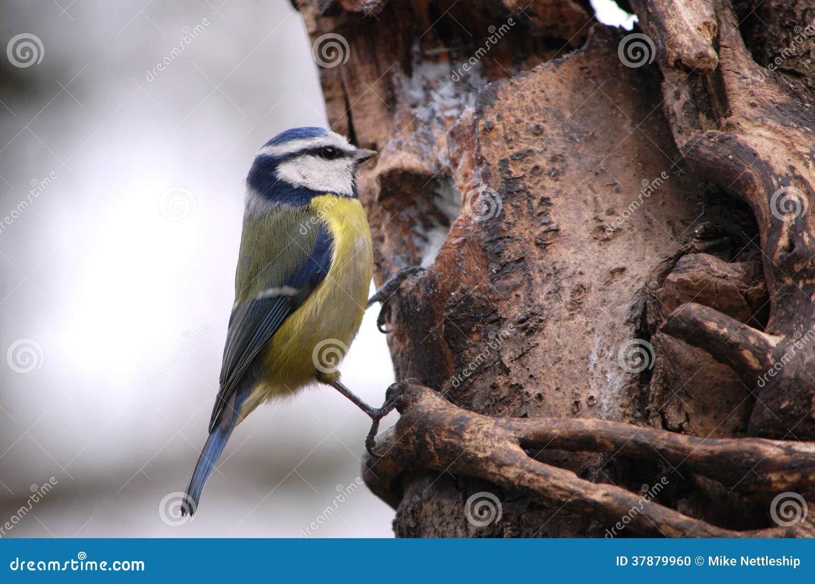 Het blauwe mees voeden van mijn boomvoeder