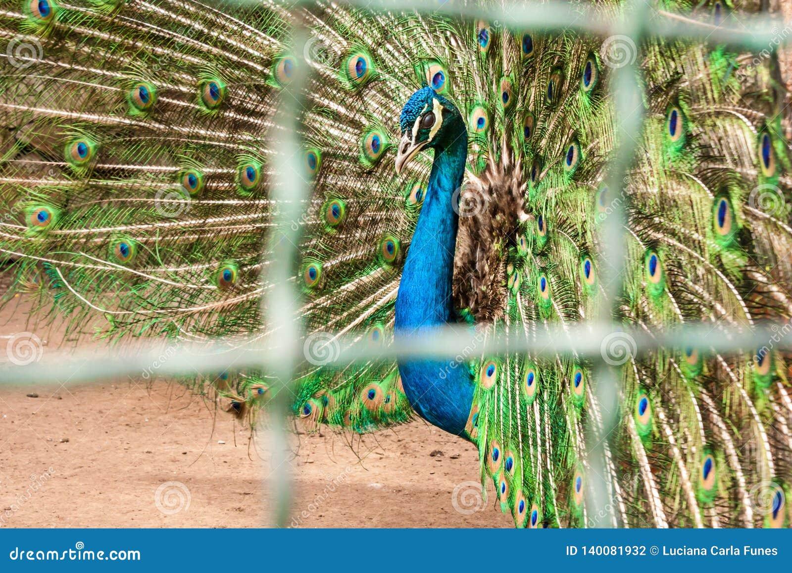 Het blauwe pauwwijfje, pavocristatus, achter drijft bars bijeen