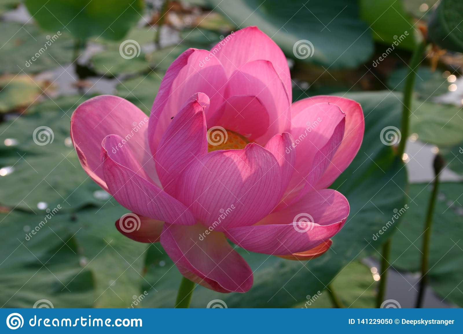 Het bloeien Indische nucifera van lotusbloemnelumbo