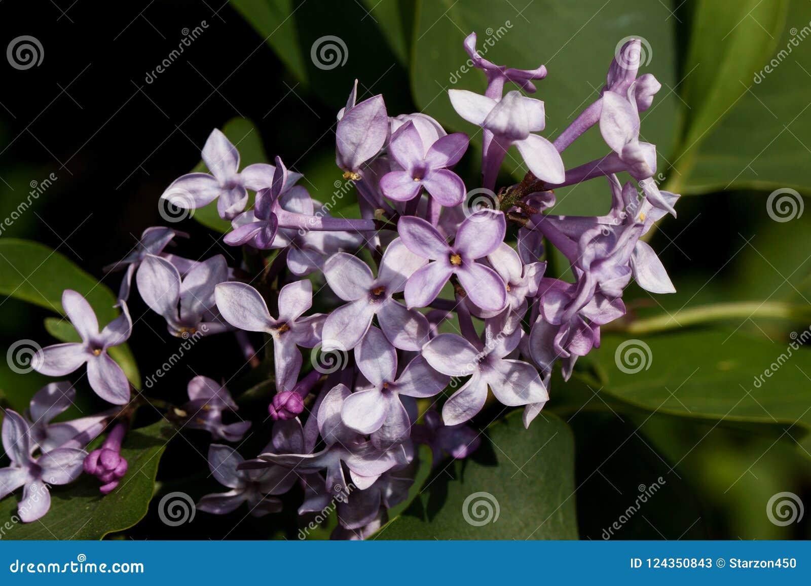 Het bloeien jonge lilac gloed in de heldere stralen van de de lentezon