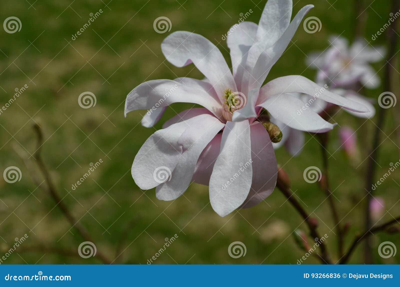 Het bloeien Pale Pink Magnolia Blossom Flowering op een Boom